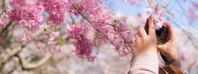 療養中の桜散策
