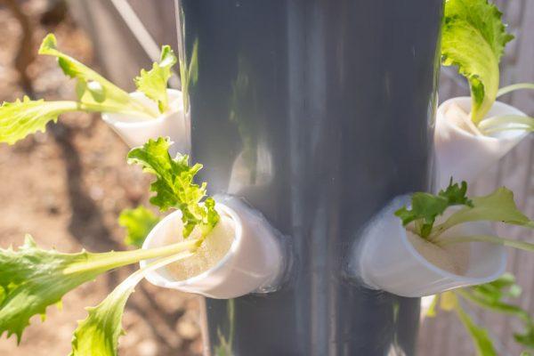 レタスの苗を植えてみた